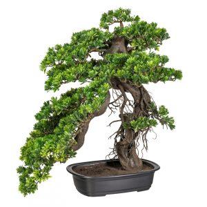 Bonsai Podocarpus 65x50cm